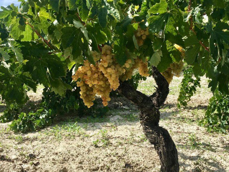 curii-uvas-y-vinos-03